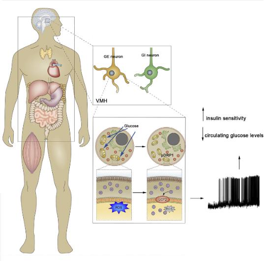 Study shows brain cell mitochondria controls blood-sugar levels ...