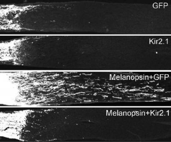 Enhancing neuronal firing activity by melanopsin overexpression in the retina promotes axon regeneration after the optic nerve injury comparing with GFP overexpression. Silencing neurons by using Kir2.1 blocks the induced regeneration.  Credit: Division of Life Science, HKUST.