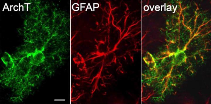 Astrocytespecific expression of ArchT-GFP (green) throughout the GFAP-positive processes (red) with stereotyped astrocyte morphology. Astrocytes were hyperpolarized optogenetically, causing variability of synapse strength to be reduced (as measured by the correlation in paired-pulse ratios at each synapse).  Credit: RIKEN