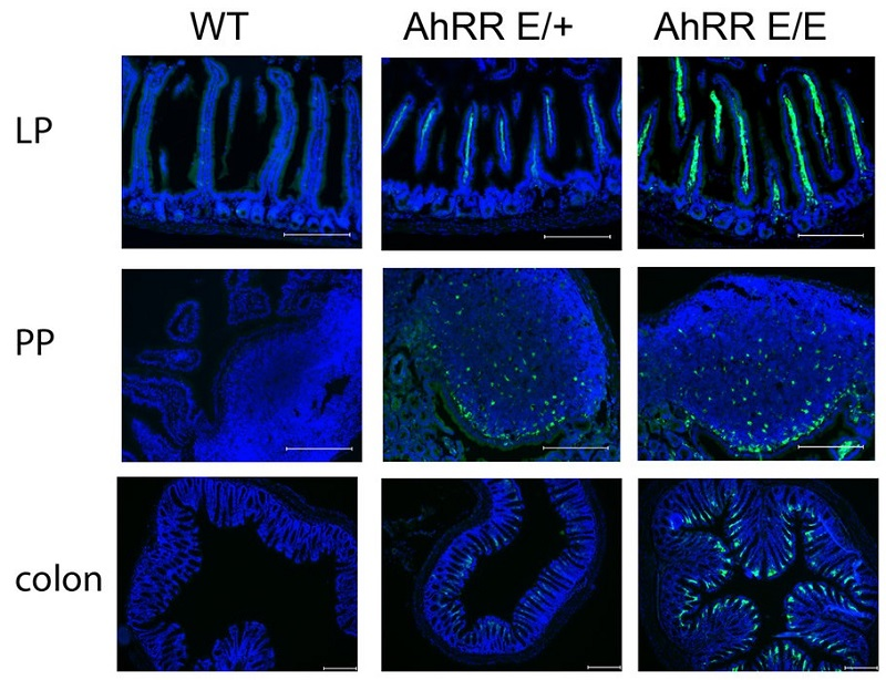 AhRR/EGFP expression in the small intestine and in lymph nodes.  Immunofluorescence analysis of frozen sections of the SI, PP and colon of WT, AhRRE/+ and AhRRE/E mice counterstained with DAPI (bars: 200μm).  Balancing intestinal and systemic inflammation through cell type-specific expression of the aryl hydrocarbon receptor repressor.  Förster et al 2016.
