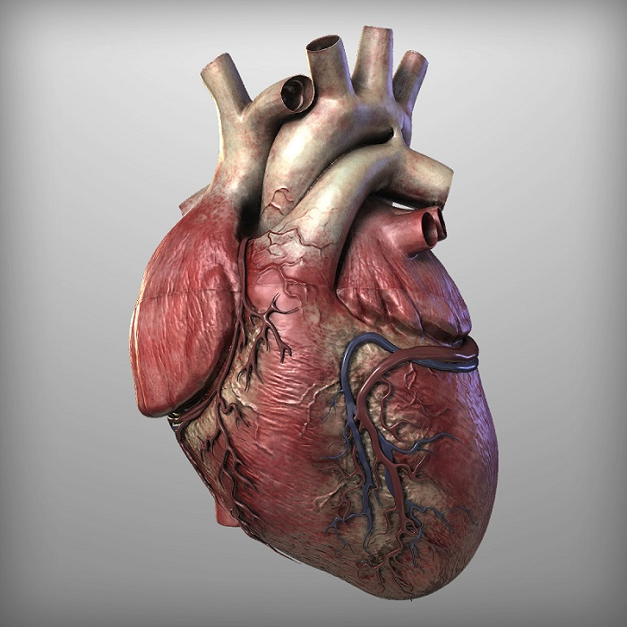 Human Heart by hobstob.  © TurboSquid 2016.