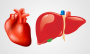 ft Damage to tiny liver protein function leads to heart disease, fatty liver - healthinnovations
