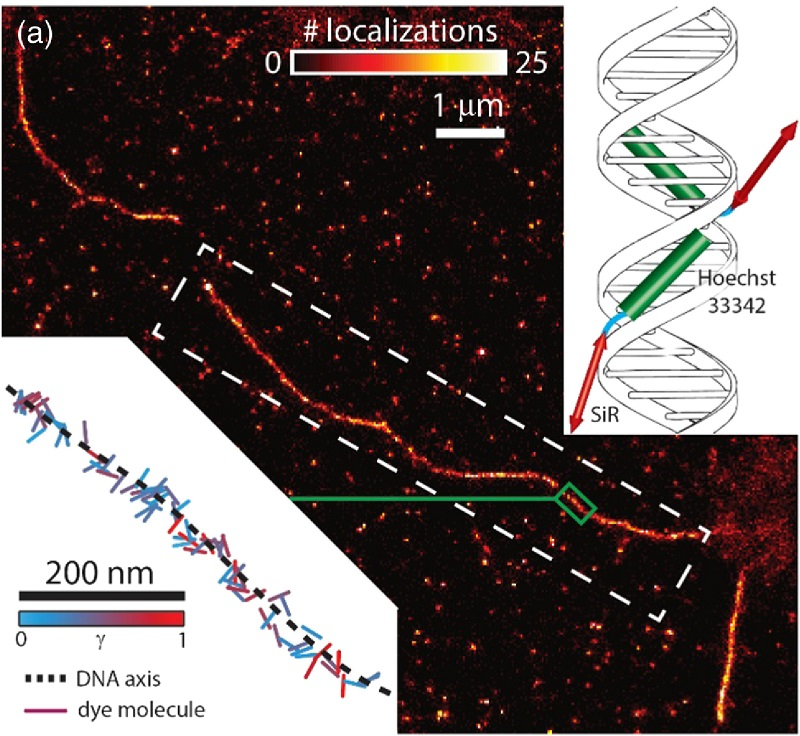 Results acquired using the dye SiR-Hoechst. (a) A super-resolved image of a DNA strand. In this case, the absorption dipole moments of silicon-rhodamine are not constrained because they are not directly bound to DNA strands (right inset). Hence, we elect not to color code our image as no overall alignment with respect to the DNA axis is expected. This feature is evidenced from a visualization of all orientation measurements localized within a small strip of DNA (green boxed region and lower left inset).  Enhanced DNA imaging using super-resolution microscopy and simultaneous single-molecule orientation measurements.  Moerner et al 2016.