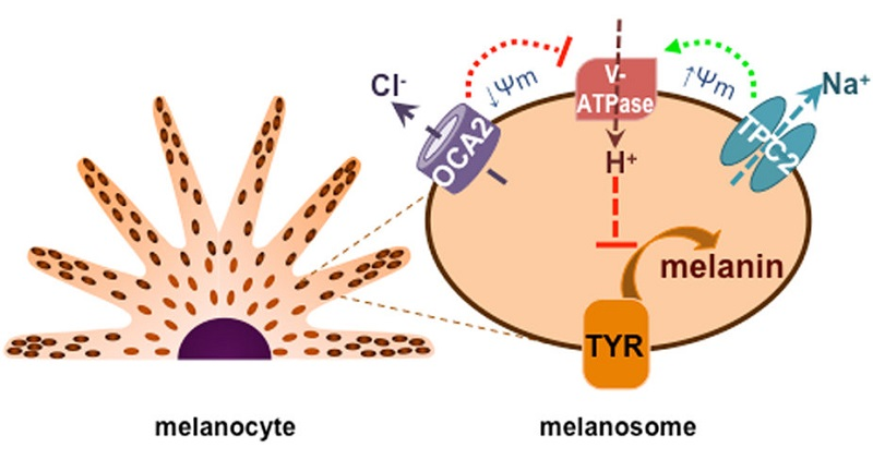 Model of ion channel-mediated regulation of melanosome pH and melanogenesis.  TPC2 mediates the major melanosomal Na+ conductance to increase melanosome membrane potential (Ψm, Ψm = Vcytosol – Vlumen) and provide a counter cation to enhance vacuolar ATPase (V-ATPase) activity and increase the acidity of the melanosome lumen, thus reducing the activity of the key melanogenic enzyme tyrosinase (TYR). Additionally, the major melanosomal anion channel mediated by OCA2 expression transports Cl− into the cytoplasm to make the melanosome membrane voltage more negative, thereby decreasing V-ATPase-mediated H+ transport and luminal acidity, which enhances the activity tyrosinase and melanin production.  Oancea et al 2016.