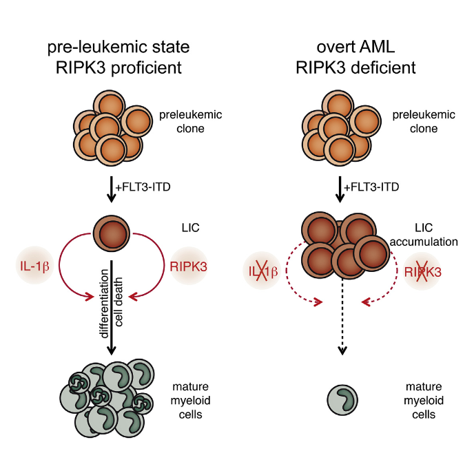 Since acute myeloid leukemia (AML) is characterized by the blockade of hematopoietic differentiation and cell death, we interrogated RIPK3 signaling in AML development. Genetic loss of Ripk3 converted murine FLT3-ITD-driven myeloproliferation into an overt AML by enhancing the accumulation of leukemia-initiating cells (LIC). Failed inflammasome activation and cell death mediated by tumor necrosis factor receptor caused this accumulation of LIC exemplified by accelerated leukemia onset in Il1r1−/−, Pycard–/–, and Tnfr1/2−/− mice. RIPK3 signaling was partly mediated by mixed lineage kinase domain-like. This link between suppression of RIPK3, failed interleukin-1β release, and blocked cell death was supported by significantly reduced RIPK3 in primary AML patient cohorts. Our data identify RIPK3 and the inflammasome as key tumor suppressors in AML.  RIPK3 Restricts Myeloid Leukemogenesis by Promoting Cell Death and Differentiation of Leukemia Initiating Cells.  Hockendorf et al 2016.