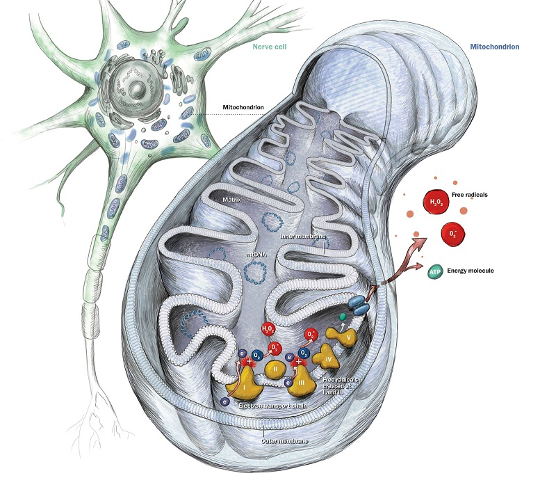 Pitt researchers find key to Parkinson's disease neurodegeneration - neuroinnovations