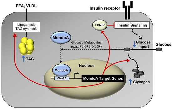 ft Study identifies new pathways involved in development of insulin resistance - healthinnovations