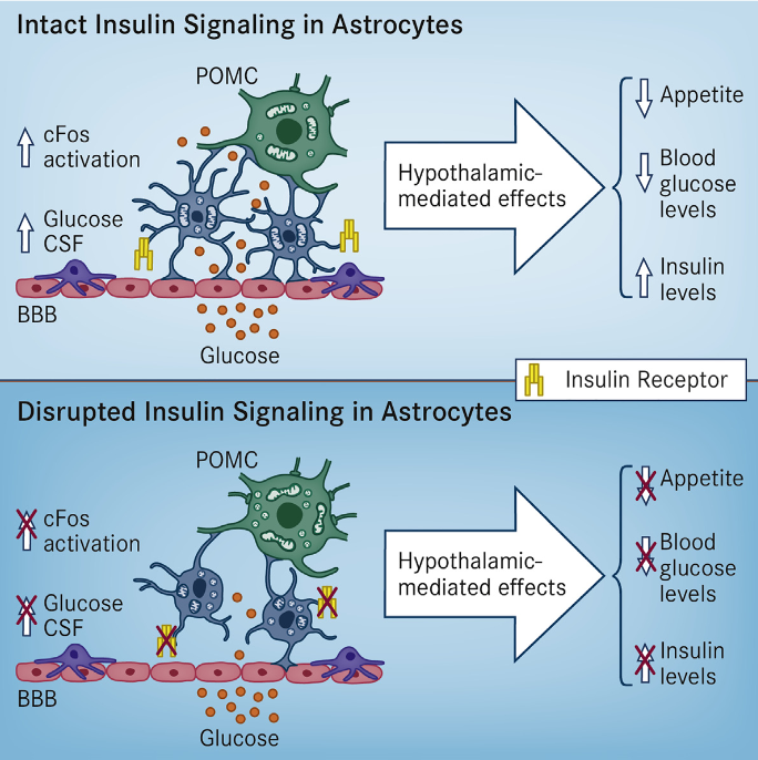We report that astrocytic insulin signaling co-regulates hypothalamic glucose sensing and systemic glucose metabolism. Postnatal ablation of insulin receptors (IRs) in glial fibrillary acidic protein (GFAP)-expressing cells affects hypothalamic astrocyte morphology, mitochondrial function, and circuit connectivity. Accordingly, astrocytic IR ablation reduces glucose-induced activation of hypothalamic pro-opio-melanocortin (POMC) neurons and impairs physiological responses to changes in glucose availability. Hypothalamus-specific knockout of astrocytic IRs, as well as postnatal ablation by targeting glutamate aspartate transporter (GLAST)-expressing cells, replicates such alterations. A normal response to altering directly CNS glucose levels in mice lacking astrocytic IRs indicates a role in glucose transport across the blood-brain barrier (BBB). This was confirmed in vivo in GFAP-IR KO mice by using positron emission tomography and glucose monitoring in cerebral spinal fluid. We conclude that insulin signaling in hypothalamic astrocytes co-controls CNS glucose sensing and systemic glucose metabolism via regulation of glucose uptake across the BBB.  Astrocytic Insulin Signaling Couples Brain Glucose Uptake with Nutrient Availability.  Tschöp et al 2016.