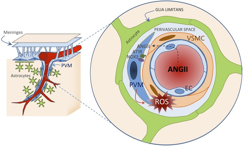 Potential mechanisms by which ANGII hypertension leads to neurovascular dysfunction underlying cognitive deficits.  The left side of the figure illustrates a pial arteriole giving off a branch penetrating into the brain parenchyma and surrounded by astrocytic end-feet forming the glia limitans and by PVMs. As illustrated in the enlargement on the right, circulating ANGII reaches the perivascular space through a breach of the BBB and acts on ANGII type 1 receptors (AT1R) on PVMs, resulting in the activation of NOX2 and ROS production. Oxidative stress, in turn, leads to neurovascular dysfunction. PVM, perivascular macrophage; EC, endothelial cell; VSMC, vascular smooth muscle cell.  Perivascular macrophages mediate the neurovascular and cognitive dysfunction associated with hypertension.  Iadecola et al 2016.
