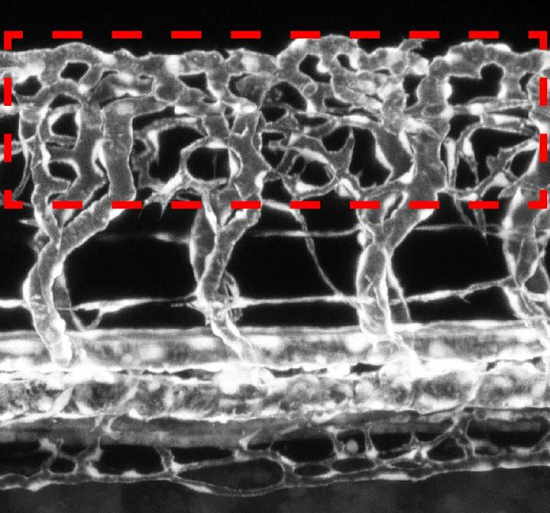 study shows that neurons modulate the growth of blood vessels