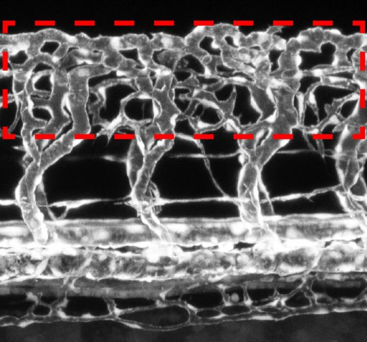 Severely hyperbranched vascular network surrounding the spinal cord (red dotted box) of zebrafish embryo -- blood vessels in white. Credit: Bild: le Noble/KIT.