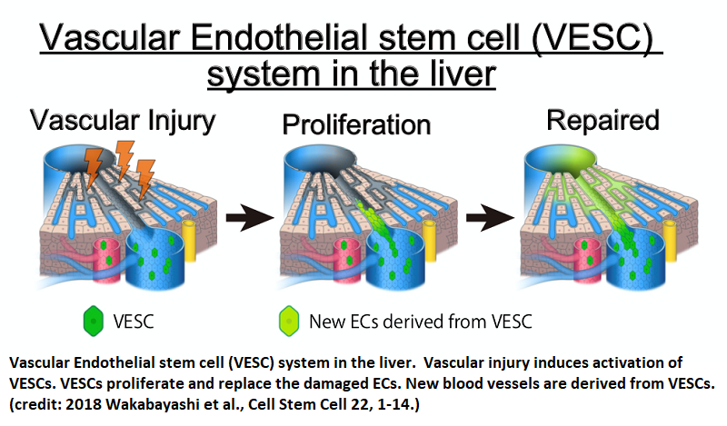 Researchers find adult endothelial stem cells that can make fully functional blood vessels - healthinnovations