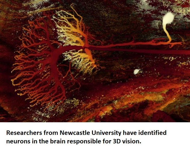Now, a study from researchers at Newcastle University identifies neurons in the insect brain which compute 3D distance and direction. The team state their study not only proves the existence of disparity sensitive or 3D neurons in an insect brain, it also reveals feedback connections previously unknown in any animal species.